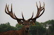Deer Trophy Farm - Red deer for sale - Breeding stags, hinds and fawns