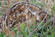 One of the twin fawns!