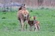 Breeding hind with two babies!