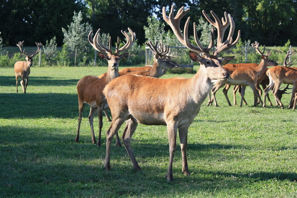 Deer Trophy - Red Deer Farm - Red Deer For Sale - Hungary